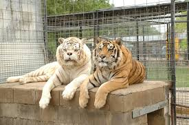 white tiger. Contemporary Tiger These Brothers Were The Unfortunate Result Of Inbreeding With Hopes  Breeder Being Able To Sell White Tiger Cubs Because Their Deformities  With White Tiger