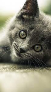 Gray Kitten Wallpaper - iPhone, Android ...