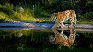 1920x1080 Tiger Walking On The Pond Way ...