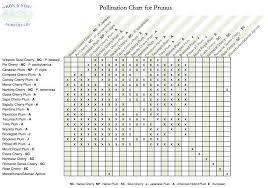 Japanese Plum Pollination Chart