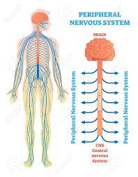 Peripheral Nervous System Medical Vector Illustration Diagram
