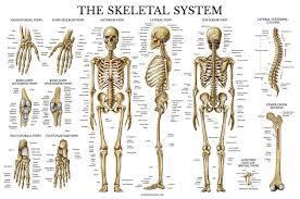Human Bone Chart Skeletal System Anatomical Chart Laminated Human Skeleton Poster 18 X 27 Horizontal