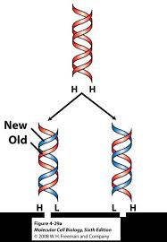 Introduction To Dna Replication A Level Biology Revision Notes
