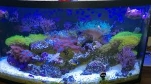 green star polyp lighting requirements. spread of green star polyps green star polyp lighting requirements