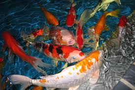 V.954 Koi Fish Wallpaper - Koi Fish Images - HD Wallpapers