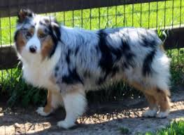 Texas Miniature Australian Shepherd Puppies