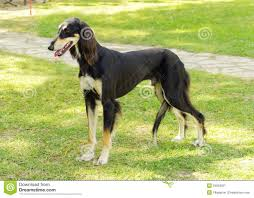 saluki dog. black tan saluki dog standing on grass