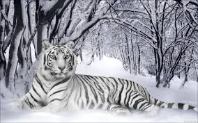 white tiger wallpaper desktop. Unique Wallpaper White Tiger  Google Search Pet Tiger Snow Leopard Wallpaper  Tiger In White Wallpaper Desktop