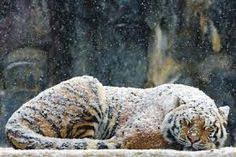 white tiger with blue eyes in snow. Interesting Blue Image Result For White Tigers With Blue Eyes In Snow Wallpaper And White Tiger With Blue Eyes In Snow
