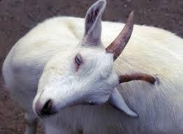 Goat Lice Lice External Parasite