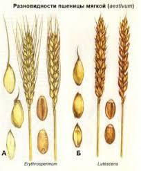 Пшеница ru Ботаническое описание и распространение пшеницы