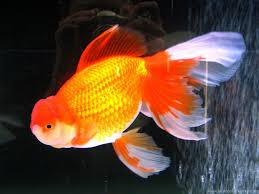 goldfish wallpaper desktop.  Goldfish Inside Goldfish Wallpaper Desktop L