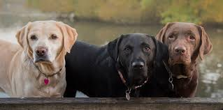 Labrador Color Chart Study Coat Color Could Mean Reduced Longevity Increased
