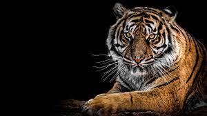 Tiger 4k Wallpapers - Top Free Tiger 4k ...