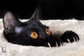 black cats with yellow eyes kitten. Exellent Cats Black Bombay Kitten With Yellow Eyes Cats L