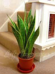 office pot plants. potofsnakeplantmotherinlaw039 office pot plants