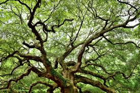 Oak Tree Growth Rate Chart How Much Will A Live Oak Grow In A Year Home Guides Sf Gate