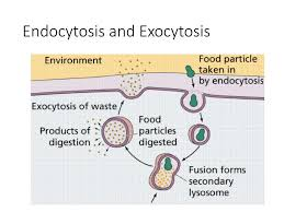 Endocytosis Vs Exocytosis Venn Diagram Cells Chapter 7 Cell Theory Prokaryote Vs Eukaryote Cells Ppt