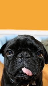 Cute Pug iPhone Wallpapers - Wallpaper Cave