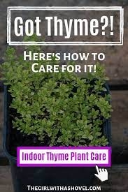 the 3 keys to indoor thyme plant care