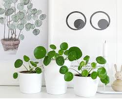 Party In Our Plants: Are Pilea Peperomioides The Coolest House Plants?