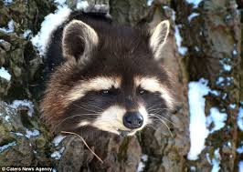 brace and bit raccoon trap. not happy: the raccoon stuck his tongue out as he was pictured trapped in brace and bit trap o