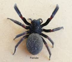 Australian House Spiders Chart The Find A Spider Guide Photos