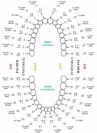 Teething Chart Printable All About Template Design