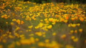 san luis obispo ca spring wildflowers