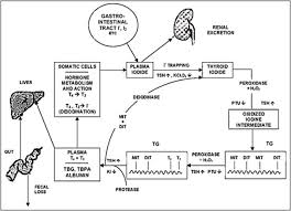 Thyroid Hormone Flow Chart Chapter 2 Thyroid Hormone Synthesis And Secretion Endotext