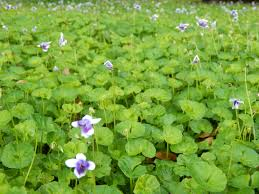 flowering groundcovers for florida