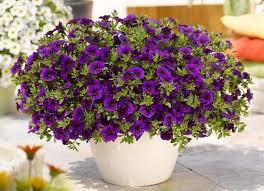 Подкормка <b>петунии</b> для пышного и обильного цветения ...