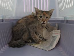 emaciated cat. Modren Emaciated I Wrote Back And Asked For More Details Especially Seeing How Emaciated  The Cat Is Intended Emaciated Cat A