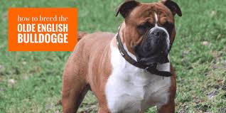 Olde English Bulldogge Puppy Weight Chart Breeding Olde English Bulldogge Dogs Health Litter