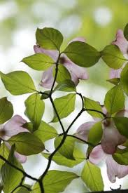 white dogwood how to tell if they are