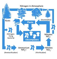 What Are The 4 Steps Of Nitrogen Cycle Earth How