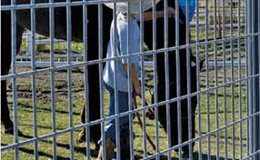 welded wire fence panels. Simple Fence A Man Is Bathing A Horse In Welded Wire Fence Horse Panels And Welded Wire Fence Panels N