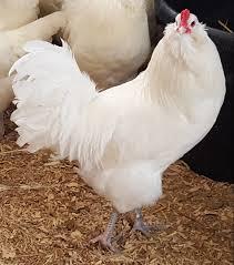 Ameraucana Chicken Color Chart White Ameraucanas Chicken