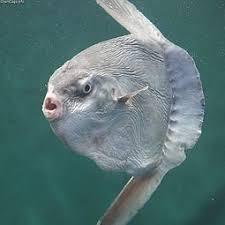 Résultats de recherche d'images pour «mola mola»
