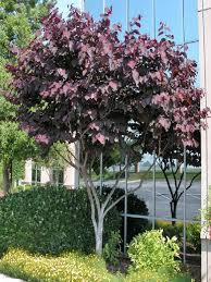 Cercis canadensis (Forest Pansy) - Knox City Council