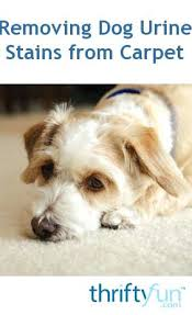 cleaning dog from carpet stains out of smell vomit stain cleaning dog from carpet up urine wool