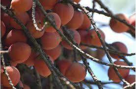 Tree Fruit With Orange FruitsJPGPalm Tree Orange Fruit