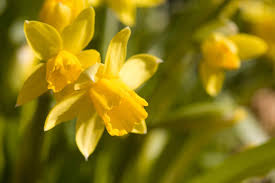 daffodil poisoning in horses