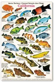 California Rockfish Chart Fishcardscom California And Baja Fish Identification Card