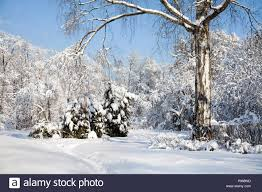 january winter background. Brilliant Winter Big Birch Tree With Snow Covered Branches Beautiful Winter Forest  Landscape Cold January Sunny Day Blue Sky Background Inside January Winter Background D