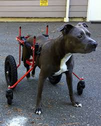 pit bull in fully supportive dog wheelchair