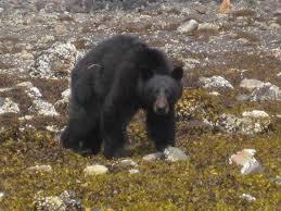grolar bear size grolar bear size annesutu