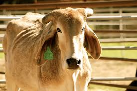 Since the brahman is known to be the latest maturing breed of all cattle in north america, the typical gestation period for a. Update Brahman Cattle Humane Society Of Ventura County