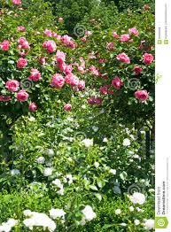 Resultado de imagem para árvore de rosas