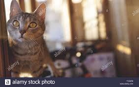 Graue Katze Mit Weißem Schnurrbart Und Gelbe Augen Liegt Auf Einem